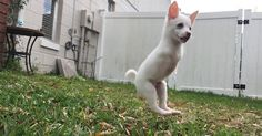 Puppy born without front legs can jump so high, soon he will have mechanical front legs.