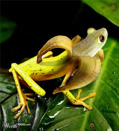 Frog-banana hybrid