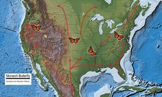 Map of North America showing the spring and summer migration patterns of the Monarch butterfly.
