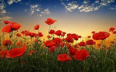 Red nature Photos | Red Poppy Flowers Sunset Nature Grass Sky Clouds Beautiful Countryside ...