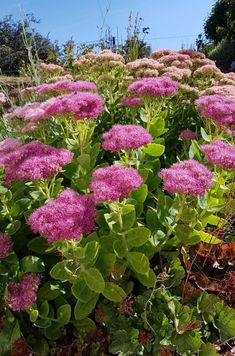 Adapting the backyard to local weather change: 12 perennials with out watering – Esprit Laïta – Les grandes sedums Flower Garden, Planting Flowers, Plants, Sedum, Sedum Garden, Cactus Garden, Perennials, Container Gardening, Rose Trees