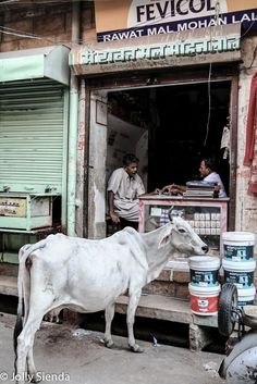 A cow watches men play cards in a shop, Jaisalmer, India. Photo by Jolly Sienda Photography.