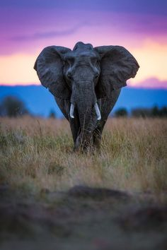 Elephant at sunset ~ Mara Triangle, Maasai National Reserve, Kenya, Africa/ isn't this AMAZING? African Animals, African Elephant, Wild Life, Beautiful Creatures, Animals Beautiful, Animals And Pets, Cute Animals, Wild Animals, Baby Animals