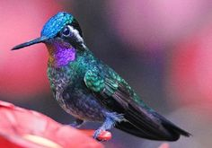 LAVENDER BIRDS | Purple-throated Mountaingem | Birds of a Feather