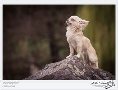 Chihuahua by Clarissa Scheffler. This is the most majestic Chihuahua I've ever seen. Chihuahua Love, Chihuahua Puppies, Cute Puppies, Cute Dogs, Dogs And Puppies, Doggies, Little Dogs, Beautiful Dogs, Dog Life
