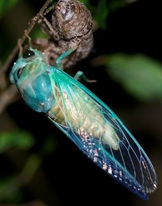 Lyric Cicada - Neotibicen lyricen. Never thought Id say this about a cicada but it is beautiful.