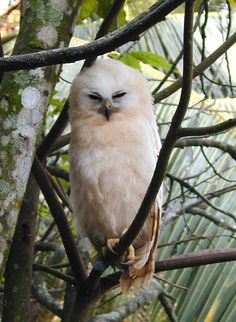 Rufous Fishing Owl (Scotopelia ussheri) juvenile. Photo by Guy Rondeau.