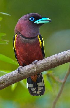 Banded Broadbill (Eurylaimus javanicus). A bird of tropical SE Asia w/ a distinctive turquoise beak. photo: Phil Liew.