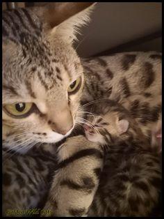 Chaton Bengal Okapi, Impala, Cats, Animals, Fire, Gatos, Animales, Kitty Cats, Animaux