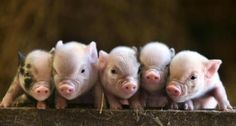 These little piggies went out on the town and shook their groove thang....