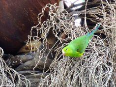 Periquito-rico (Brotogeris tirica) fotografado no Instituto Butantan em São Paulo/SP em Junho/14.