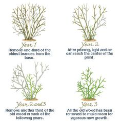 Problem: You've got an old shrub that's a woody, tangled mess. | Shrub Pruning Dos and Don'ts | Photos | This Old House