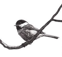 Pen and Ink Drawing Reproduction Blackcapped by melissabtubbs