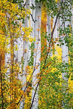 Aspens, Colorado; photo by Synapped