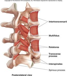 Human Movement Science & Functional Anatomy of the: Rotatores, Interspinales and Intertransversarii by Brent Brookbush MS, PES, CES, CSCS, ACSM H/FS Rotatores, Interspinales and Intertransversarii - http://o.quizlet.com/i/NDaCQd2yIly10Kw7L3aOHQ.jpg  Rotatores Origin: Transverse processes