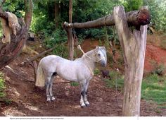 "Purebred Chilean Horse .Caballo Chileno Pura raza .Peleco ""REQUINTO"". Horse Caballo, Horse World, Conquistador, Horse Photos, Horse Breeds, Beautiful Horses, Animals And Pets, Pony, Vibrant Colors"
