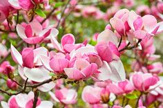 Plant pretty pink and white blooming trees in your backyard for a flowery display in springtime. Plus, you& attract more birds to your backyard! Spring Blooming Trees, Spring Blooms, Spring Flowers, Spring Birds, Yellow Flowering Shrub, Pink Flowering Trees, Small Shrubs, Small Trees, Eastern Redbud Tree