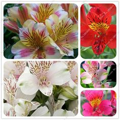 New Home Garden Plant 20 Seeds Alstroemeria ligtu DR SALTERS HYBRIDS MIX Peruvian Lily Seeds Free Shipping #>=#>=#>=#>=#> Click on the pin to check out discount price, color, size, shipping, etc. Save and like it!