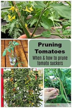Not sure whether or not you should prune your tomato plants? Learn all the pros and cons of the job and how to do it right. #gardening #vegetablegardening Vertical Vegetable Gardens, Indoor Vegetable Gardening, Garden Plants, Organic Gardening, Gardening Tips, Texas Gardening, Potager Garden, Gardening Vegetables, Fruit Garden