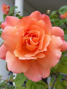 Flowers Gif, Beautiful Rose Flowers, Pretty Roses, Romantic Roses, Exotic Flowers, Amazing Flowers, Rose Meaning, Rose Reference, Flower Meanings