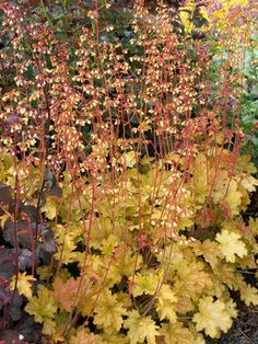 "Heuchera Ginger Ale  Coral Bell, Alum Root    Height: Short 6-9"" (22"" in flower) / Plant 10-12"" apart  Bloom Time: Late Spring to Summer  Sun-Shade: Full Sun to Mostly Shady  Zones: 4-9   Get Your Zone  Soil Condition: Normal, Acidic  Flower Color / Accent: Yellow / Pink"