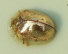✯ Golden tortoise beetles (Charidotella sexpunctata) are common North American beetles that can be found on morning glory leaves, which are their preferred food. They can change color, looking initially like tiny jewels, or golden ladybugs, but can alter the reflectivity of the cuticle so the outer layers become clear, revealing a ladybug type of red coloring with black spots. This color change is accomplished by microscopic valves controlling the moisture levels under the shell.✯