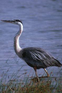 Découvrez notre circuit ornithologique. Plus de 343 espèces d'oiseaux à observer en Gaspésie. Photo : Tourisme Gaspésie Circuit, Father, Photos, Animals, Pai, Animales, Pictures, Animaux, Animais