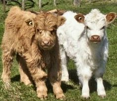 miniature cows! I want some!