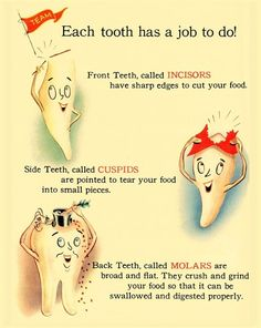 Dentaltown - Each tooth has a job to do! Front teeth, called incisors have sharp edges to cut your food. Side teeth, called cuspids are pointed to tear your food into small pieces. Back teeth, called molars are broad and flat. They crush and grind your food so that it can be swallowed and digested properly.