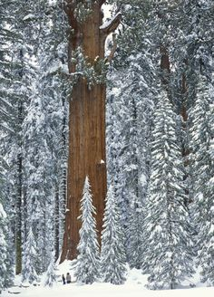 General Sherman Tree, a Sequoia in the Giant Forest, surrounded by snow after a winter storm. This Giant Sequoia Tree does not grow in Yosemite but in Sequoia National Park. Image Nature, All Nature, Amazing Nature, Science Nature, Sequoia National Park, National Parks, National Forest, Nyc Winter, Winter Storm
