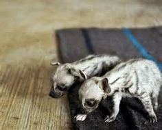 baby hyena - - Yahoo Image Search Results