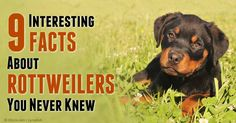 It's a popular misconception that Rottweilers are giant dog breeds; the truth is that they are only classified as medium- to large-sized dogs. http://healthypets.mercola.com/sites/healthypets/archive/2014/11/21/rottweilers.aspx