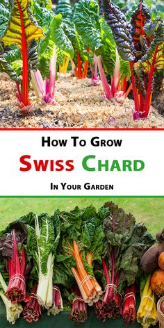 Tips for Growing Swiss Chard in Your Garden How to grow Swiss Chard from seed, how to transplant Swiss chard sprouts when to harvest Swiss chard plants