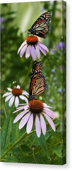 Two Butterflies Canvas Print by Roni Chastain