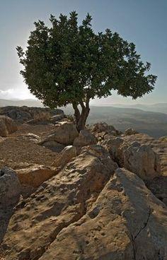 The Carob Tree atop Mt. Arbel in the Galilee.