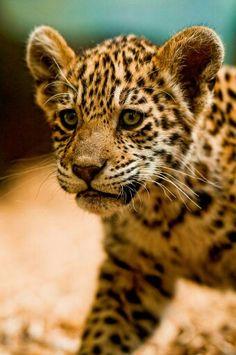 Cachorro leopardo
