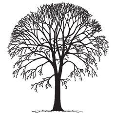 american elm sketch - Google Search