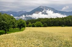 Barley field at Haimach, municipality Maria Rain, district Klagenfurt-Land, Carinthia, Austria, in the background the Ferlacher Horn