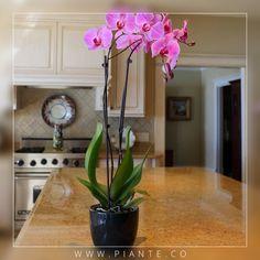 #Piante Trasplantar ocasionalmente su Orquídea es esencial para mantener la salud a largo plazo de esta. Se recomienda volver a plantar de 3 a 4 años en tierra que tenga un buen drenaje. - http://piante.co/ - #Flores #Premium #Decoración #IdeasDeRegalos #Colombia #OrquídeasDeColombia #ColombianOrchids #Regalos #Regaloscorporativos