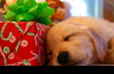 Adorable yellow lab puppy photo! Christmas photo session ideas. {Pet Photography} {Labrador Retriever} {Dog} {Puppies}