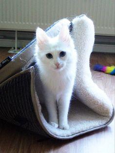 Cute white Turkish angora