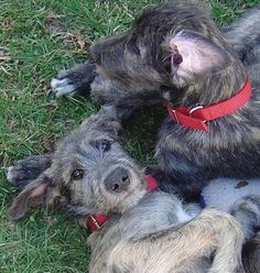 So cute and fluffy! Irish wolfhound pups