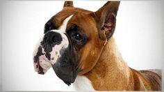 boxer dog 101 big
