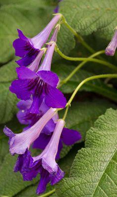 """Streptocarpus - """"Cape Primrose""""."""