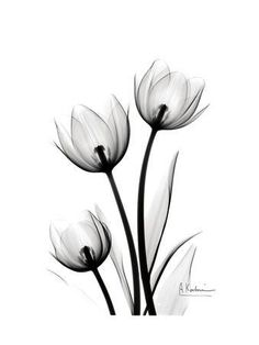 Art Print: Tulips High Contrast by Albert Koetsier : Xray Flower, Flower Art, Contrast Art, High Contrast, Watercolor Flowers, Watercolor Art, Tulip Tattoo, Art Drawings Sketches, Framed Artwork