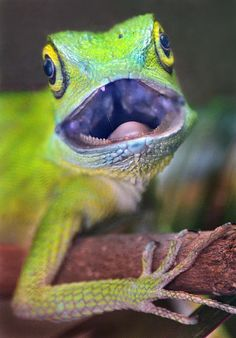 Green-crested lizard by Ion Moe