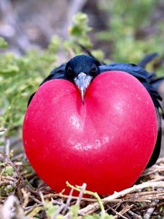 Frigate Bird, doing the perfect display for Valentine's Day.