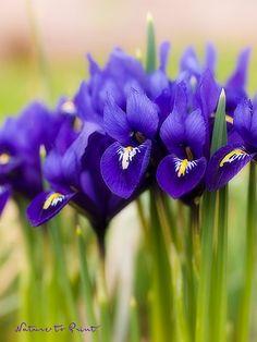 Kunstdruck und Leinwandbild mit Blumenbild Iris-Blüten in der Gruppe