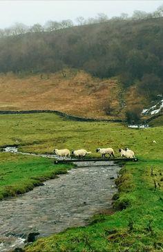 England Travel Inspiration - Swaledale Sheep, Hill Top Farm, Malham, Yorkshire Dales, England