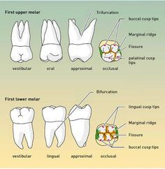 Dental Assistant Study, Dental Hygiene Student, Dental Hygienist, Dental World, Dental Life, Dental Health, Dental Anatomy, Medical Anatomy, Dental Terminology